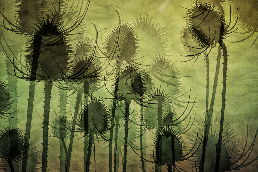 A piece of fine art art photography titled Wild Teasel by Nel Talen