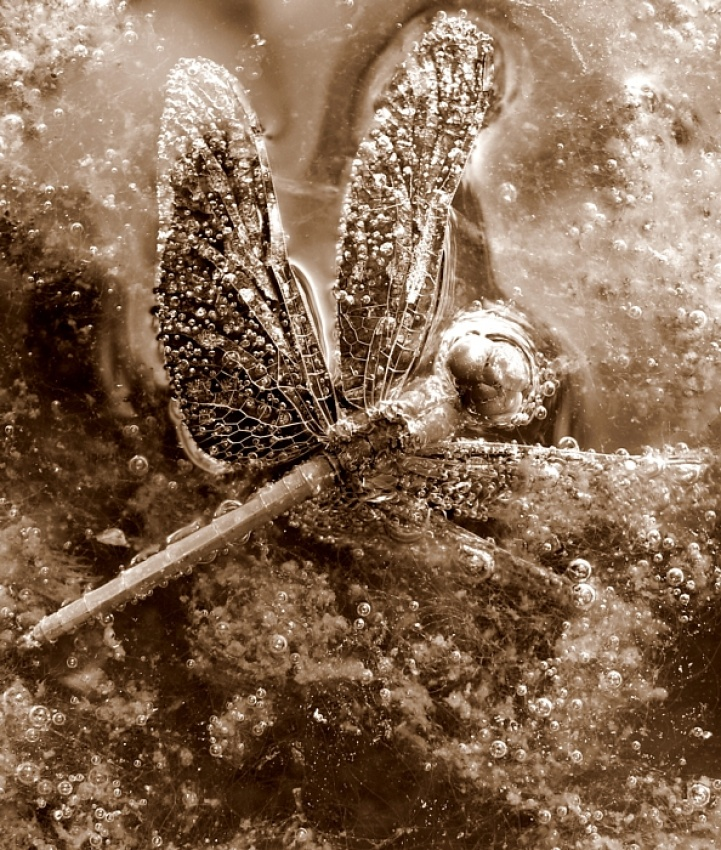 A piece of fine art art photography titled Death of a Dragonfly - In Sepia by Lachlan Kent