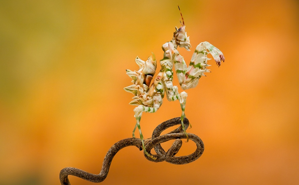 A piece of fine art art photography titled Spiney Flower Mantis by Christopher Schlaf