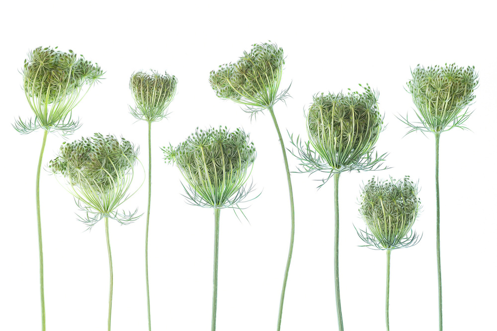 View this piece of fine art photography titled Wild Carrot by Rico Cavallo
