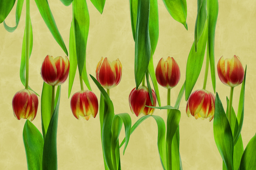 A piece of fine art art photography titled Tulips by Udo Dittmann