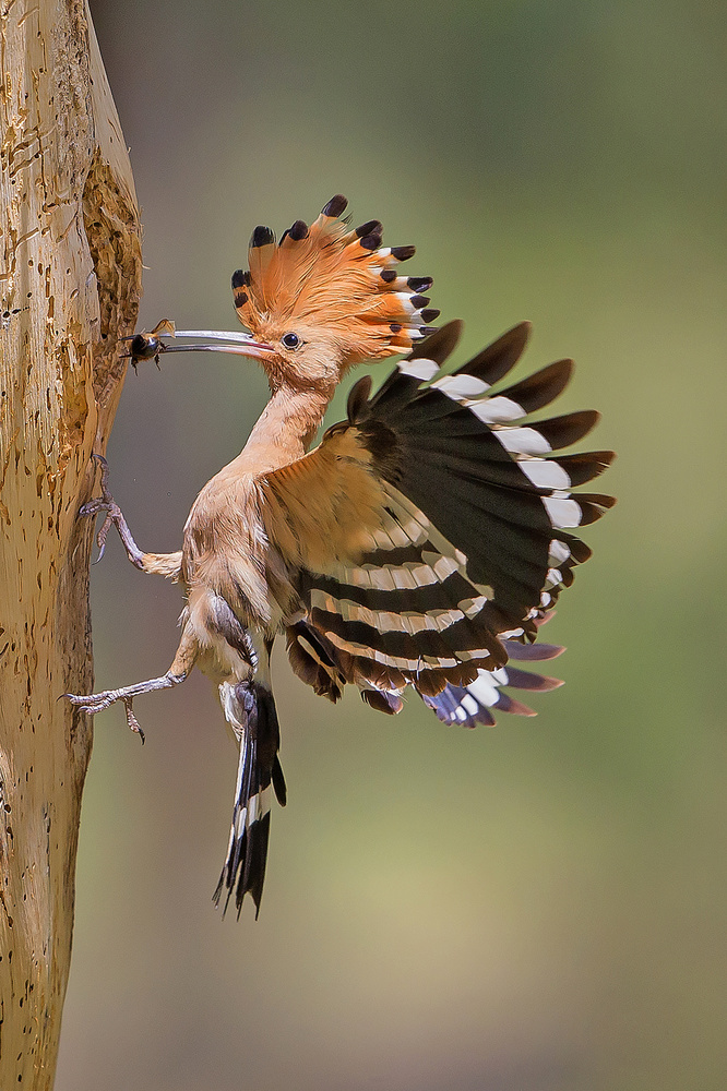 A piece of fine art art photography titled Hoopoe With Food by Shlomo Waldmann