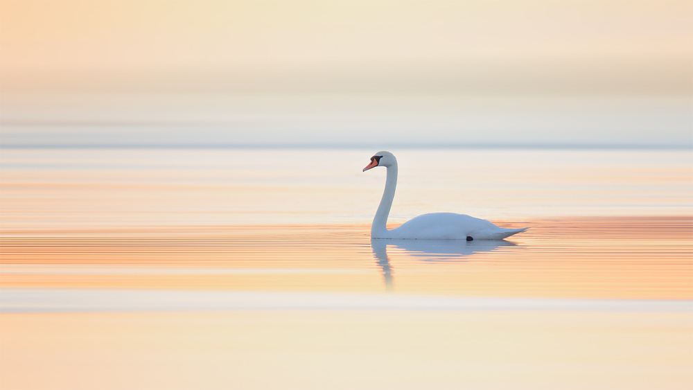 A piece of fine art art photography titled Swan by Leif Løndal