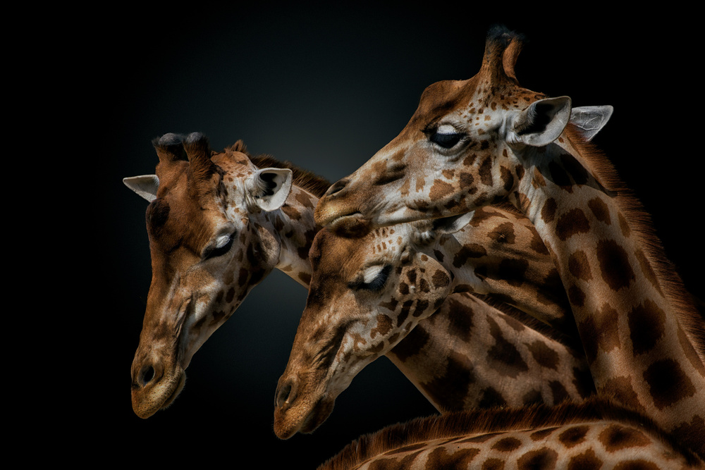 A piece of fine art art photography titled Gregarious Giraffes by Pedro Jarque