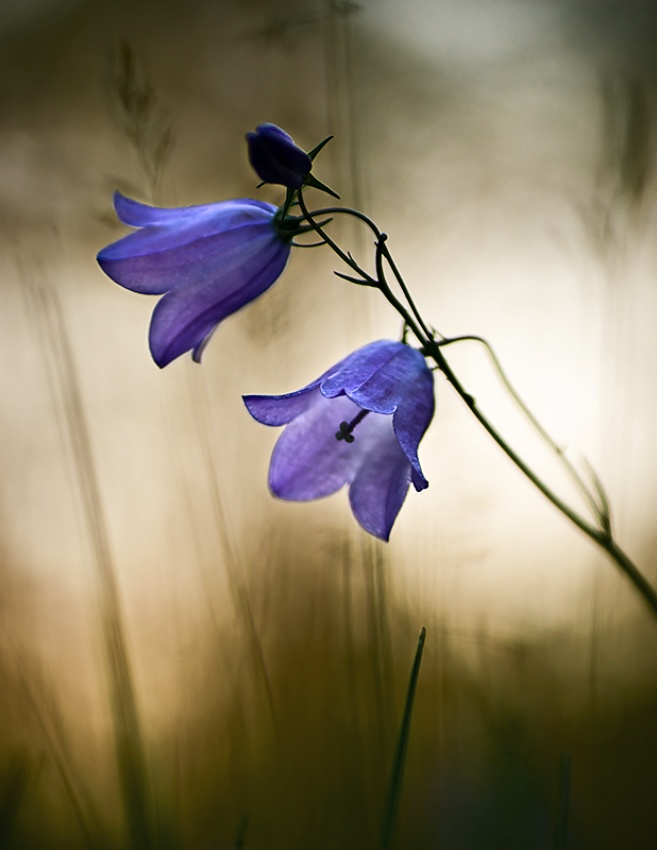 A piece of fine art art photography titled Bluebells by Thomas Ljungberg
