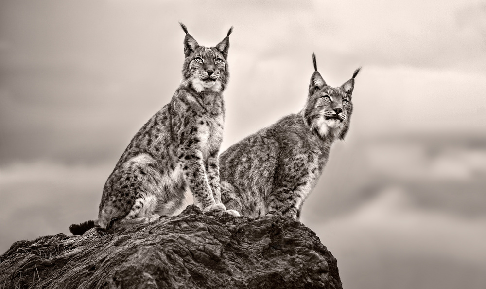 A piece of fine art art photography titled Two Lynx On Rock by Xavier Ortega