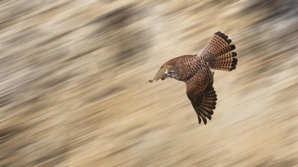 A piece of fine art art photography titled Speeding Falcon by Kieran O Mahony