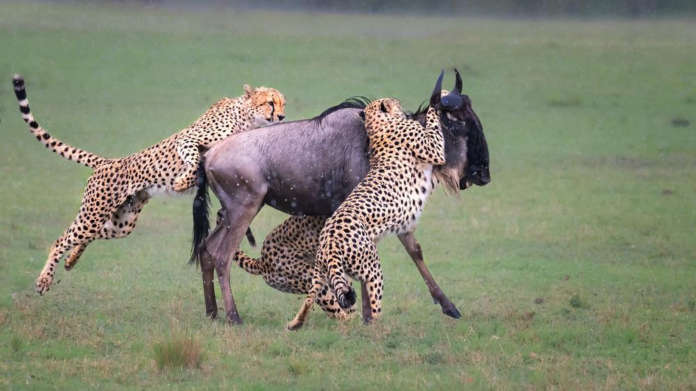 A piece of fine art art photography titled Cheetah  Hunting by Jie  Fischer