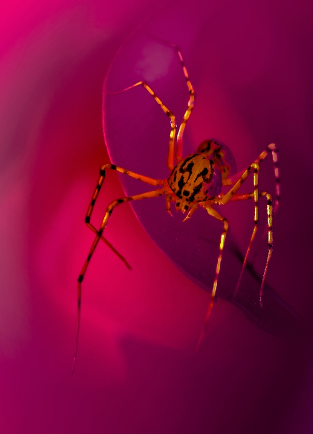 A piece of fine art art photography titled   Genus Scytodes by Leon Baas