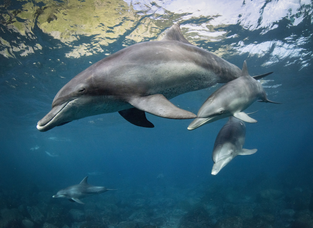 View this piece of fine art photography titled Dolphin Family by reiko takahashi