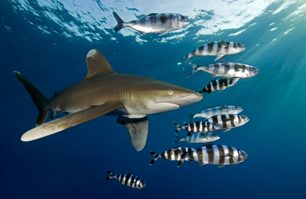 A piece of fine art art photography titled Oceanic Whitetip Shark (Carcharhinus Longimanus) by Dray van Beeck