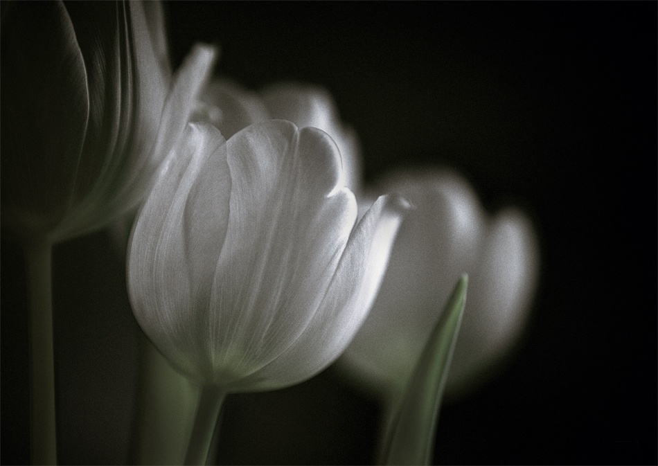 A piece of fine art art photography titled White Tulip by Ralf Greiner