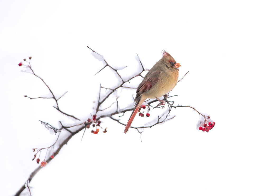 A piece of fine art art photography titled Cardinal by Larry Deng