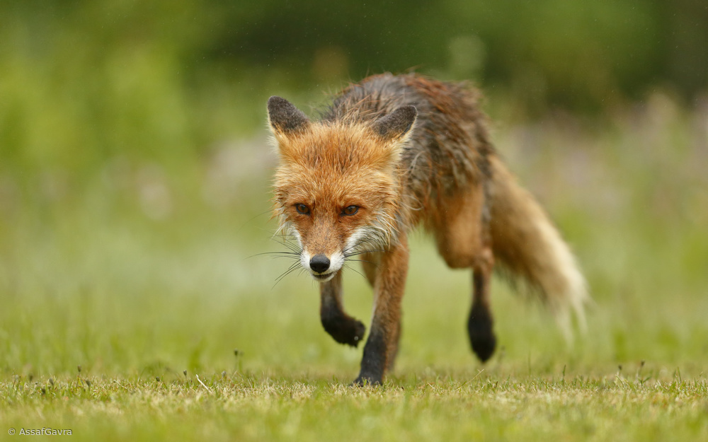 Red Fox @ Rain