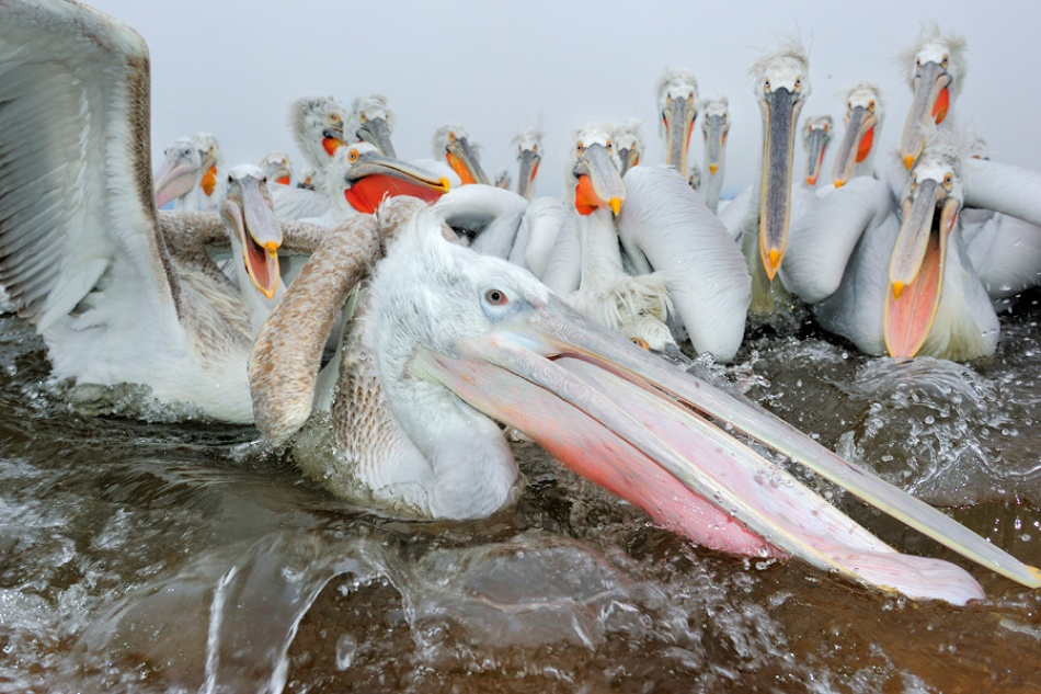 A piece of fine art art photography titled Dalmatian Pelicans by Werner Bollmann