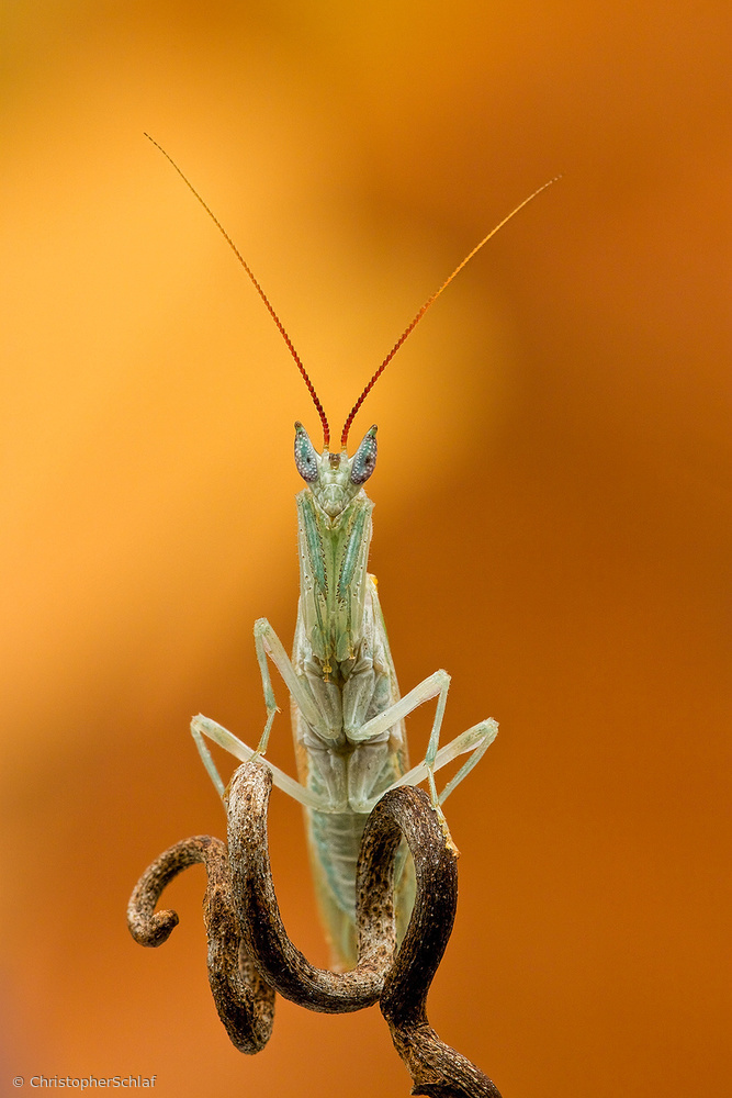 View this piece of fine art photography titled Mantis by Christl Deckx