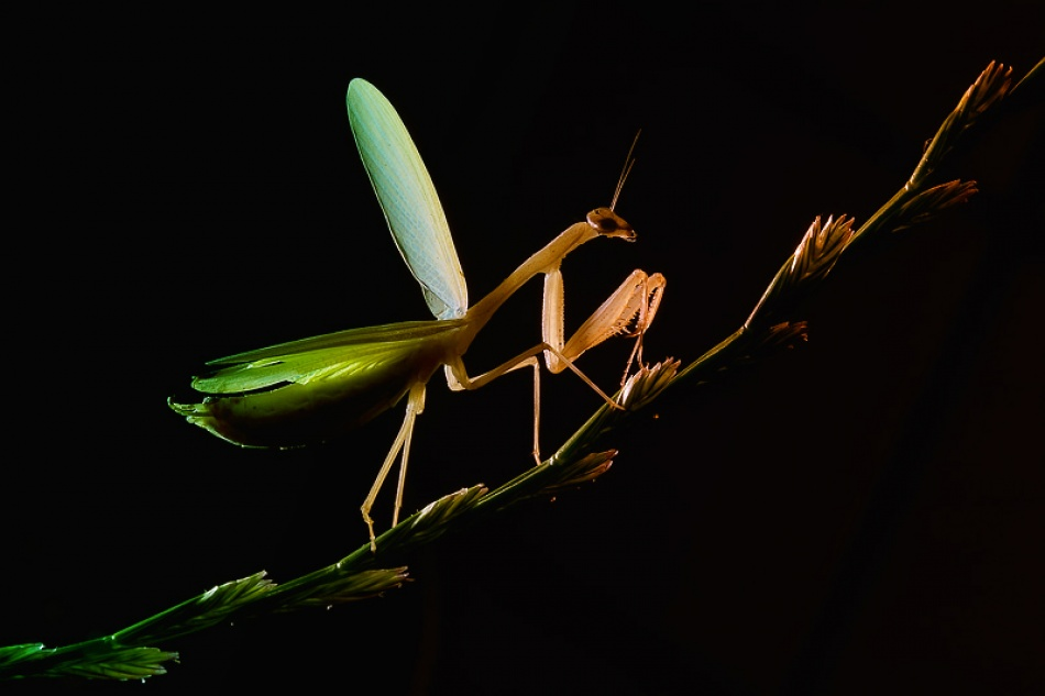 A piece of fine art art photography titled Praying Mantis In Backlight by Leon Baas