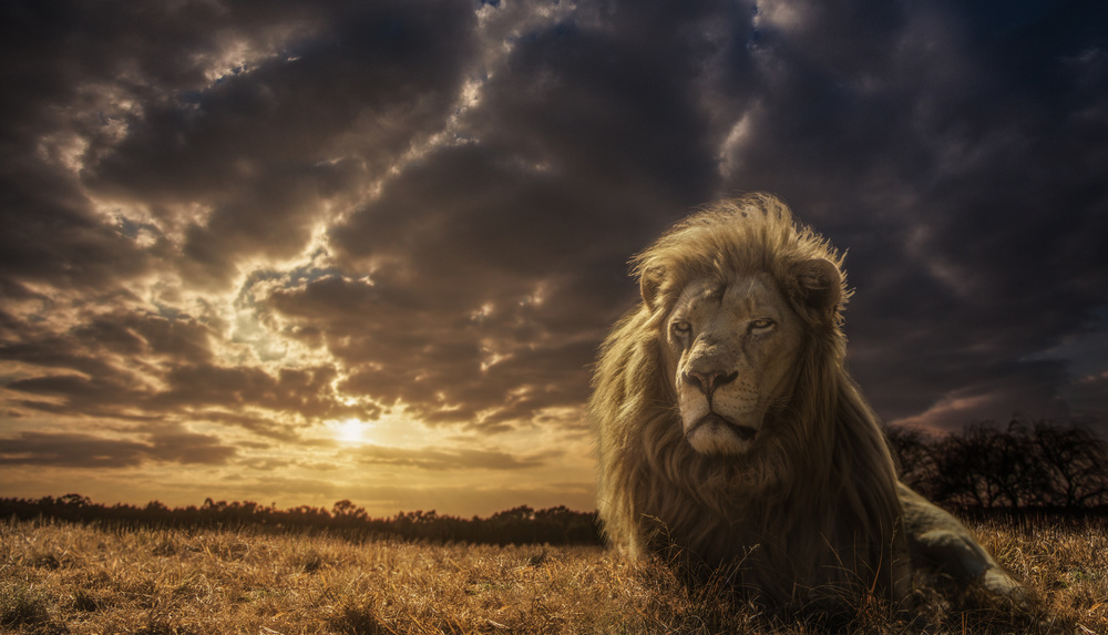 A piece of fine art art photography titled Adventures On Savannah - the Lion King by Jackson Carvalho