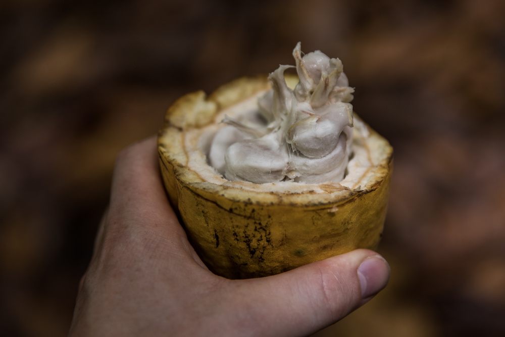 Cacao in hand (Belize)