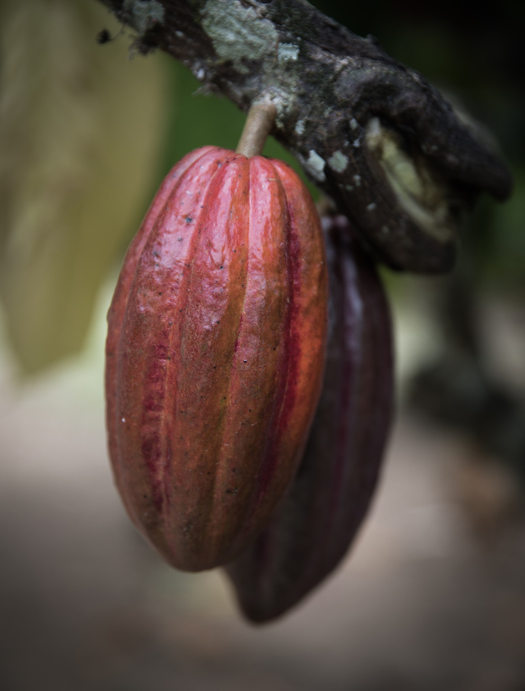 A piece of fine art art photography titled Cacao (Amelonado X Criollo), Belize by Erik Hammar