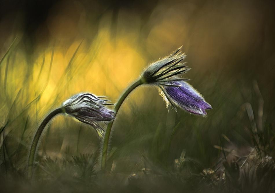 A piece of fine art art photography titled Pulsatilla by Istvan Lichner