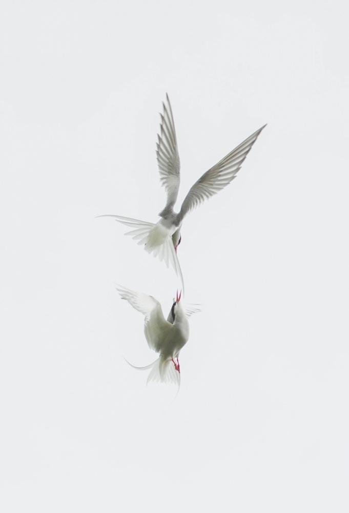 A piece of fine art art photography titled Tern by Jure Kravanja