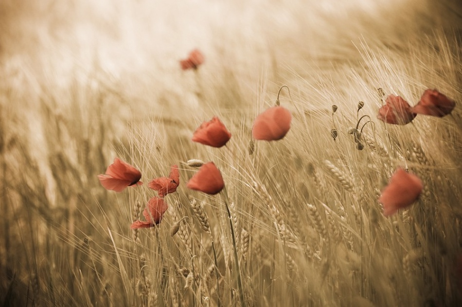 A piece of fine art art photography titled Poppies & Grain by Werner Oomens