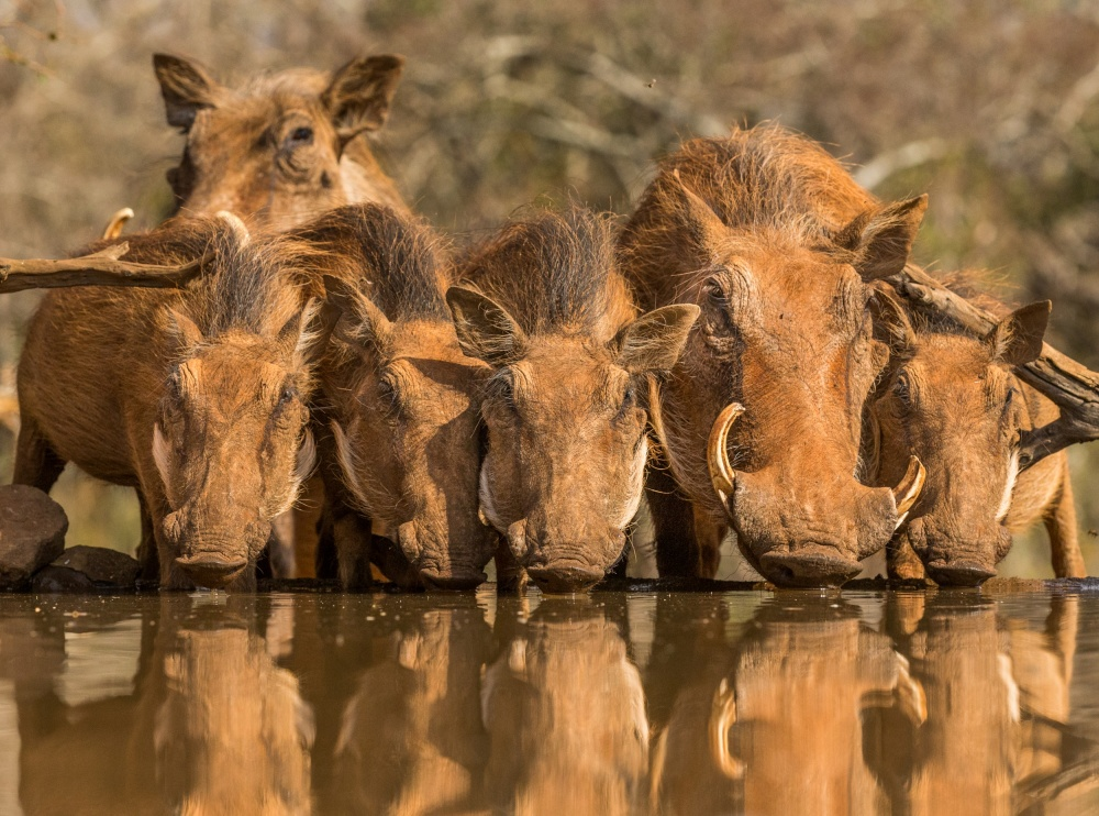A piece of fine art art photography titled Warthog Family Reunion by Jaco Marx