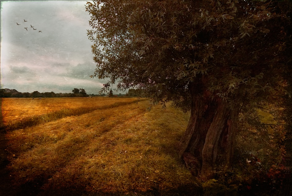 A piece of fine art art photography titled Fields of Gold by Werner Oomens