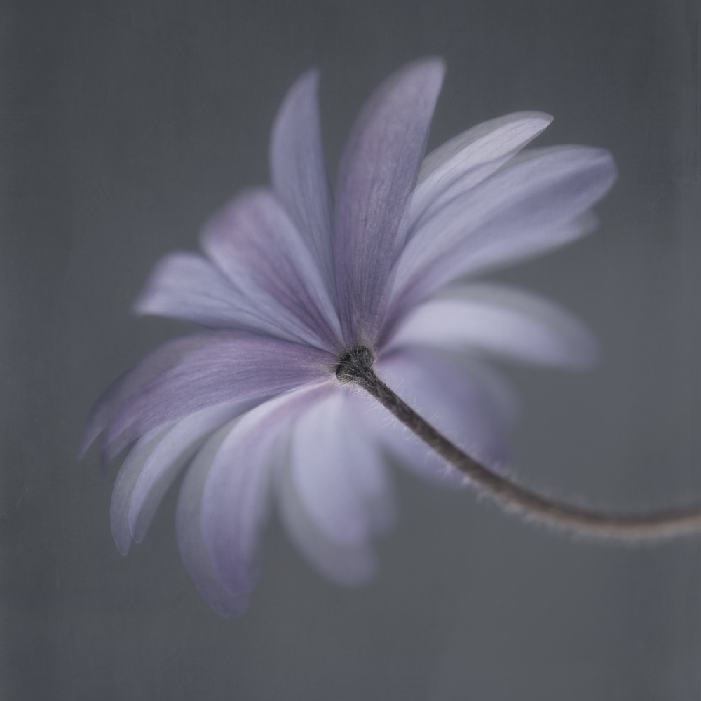 View this piece of fine art photography titled Anemone Blanda by Lotte Grønkjær