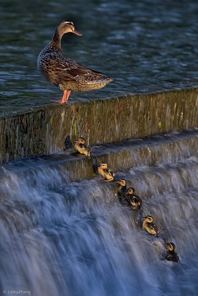 Brave Ducklings