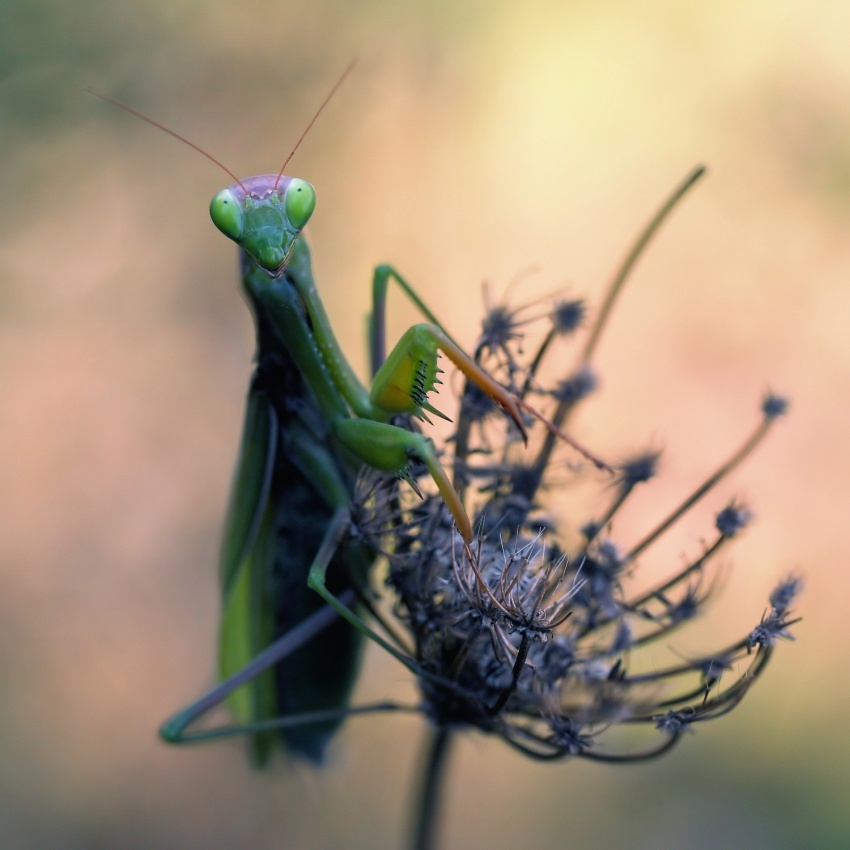 A piece of fine art art photography titled Praying Mantis by Jimmy Hoffman