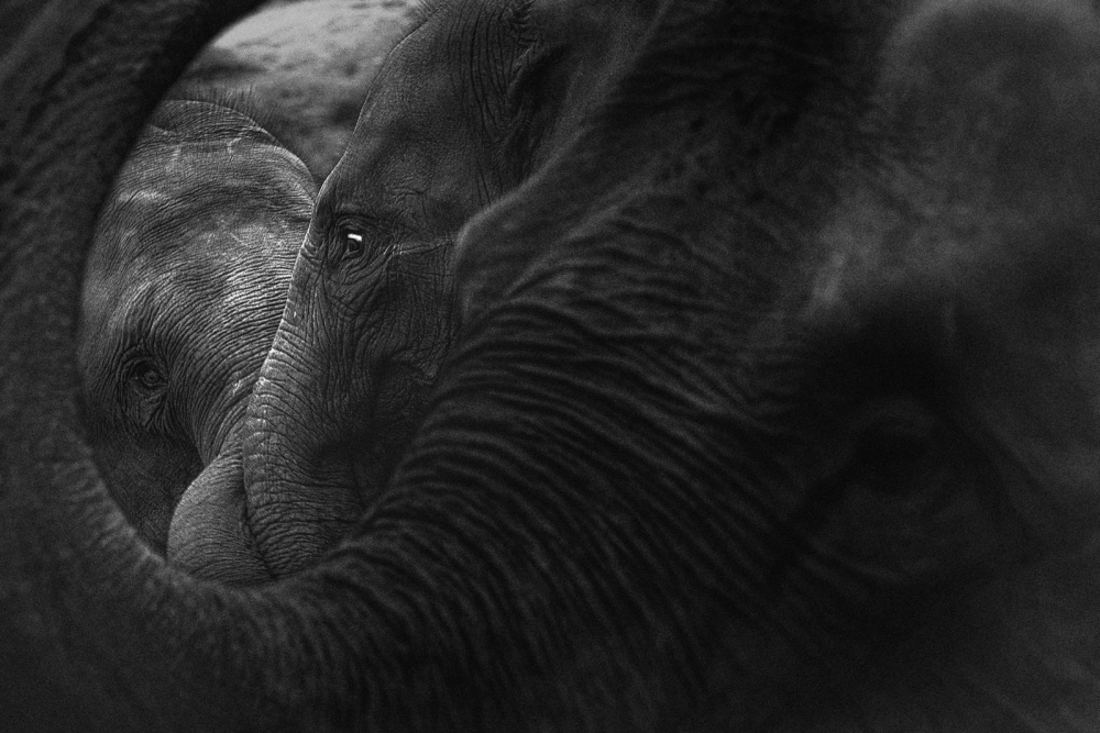 A piece of fine art art photography titled Elephant by Claudio Ceriali