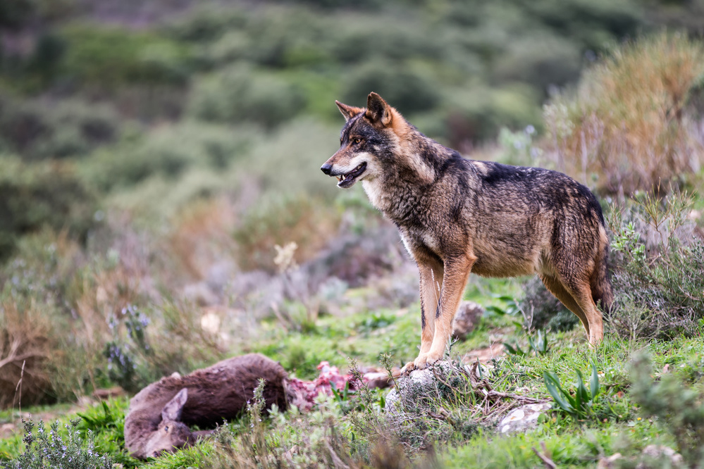 View this piece of fine art photography titled Iberian wolf by Kique Ruiz