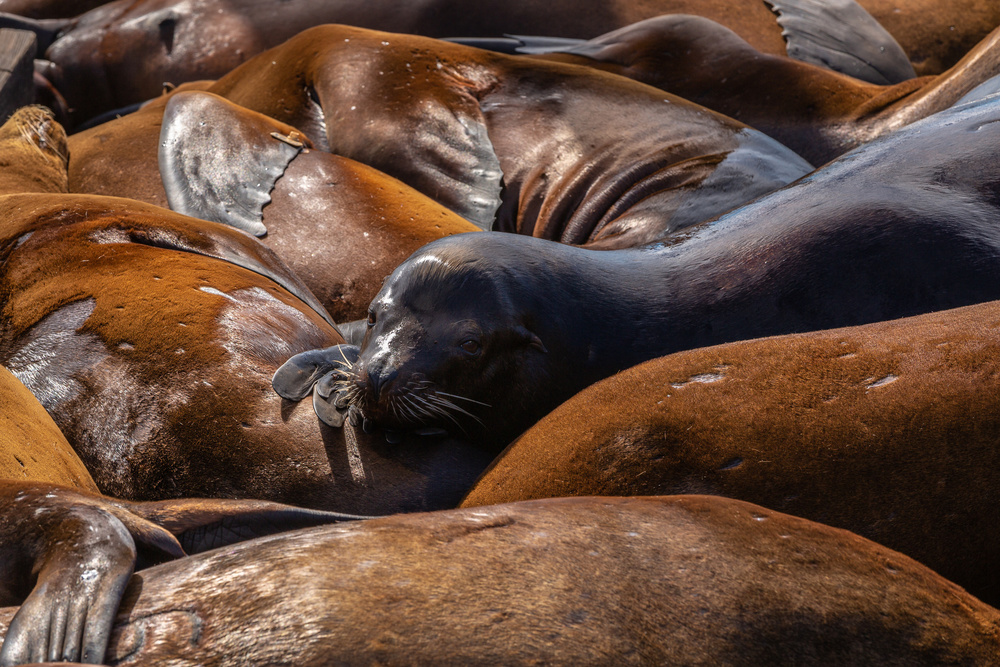 A piece of fine art art photography titled Sea of Lions #2 by Francois Roughol
