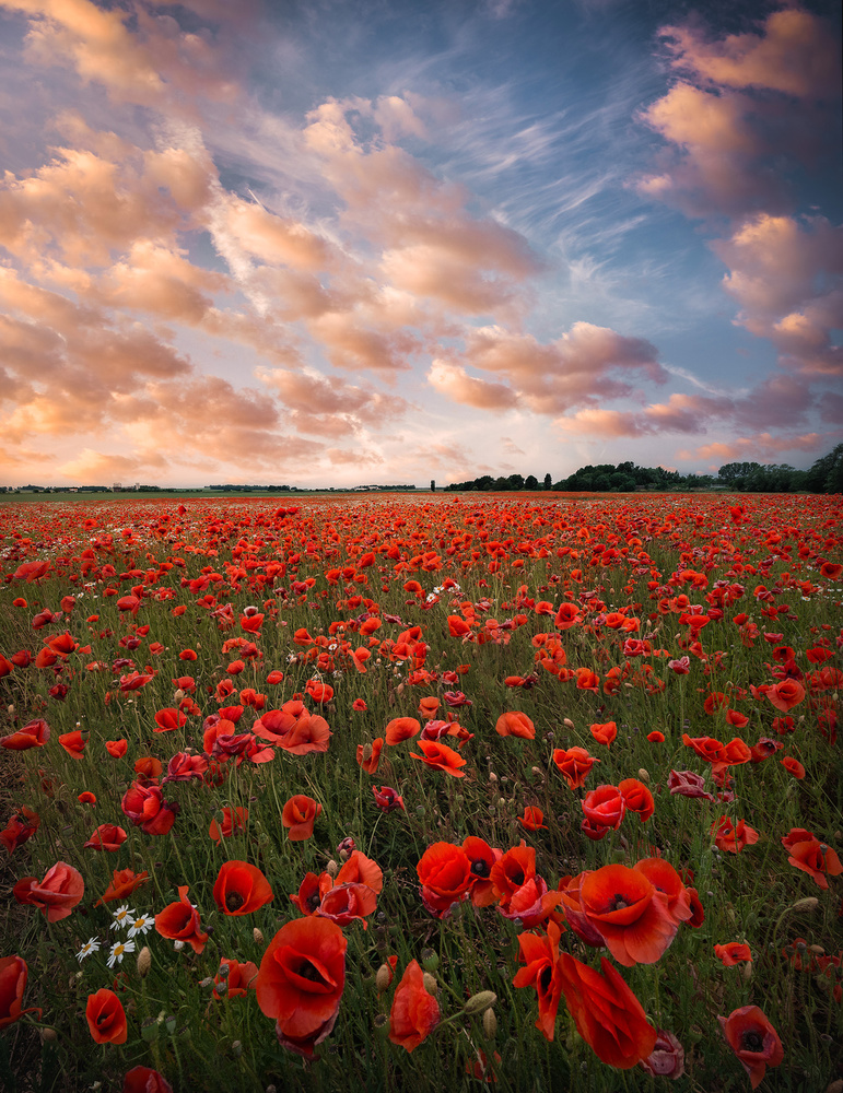 View this piece of fine art photography titled Poppy field in Sweden by John Fan