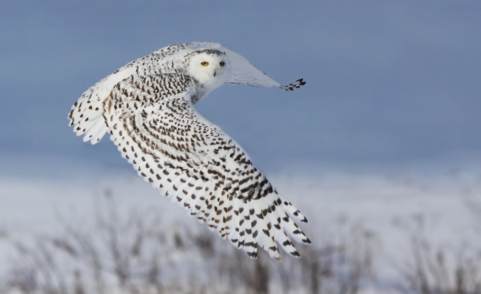 A piece of fine art art photography titled Snowy Owl by Mircea Costina