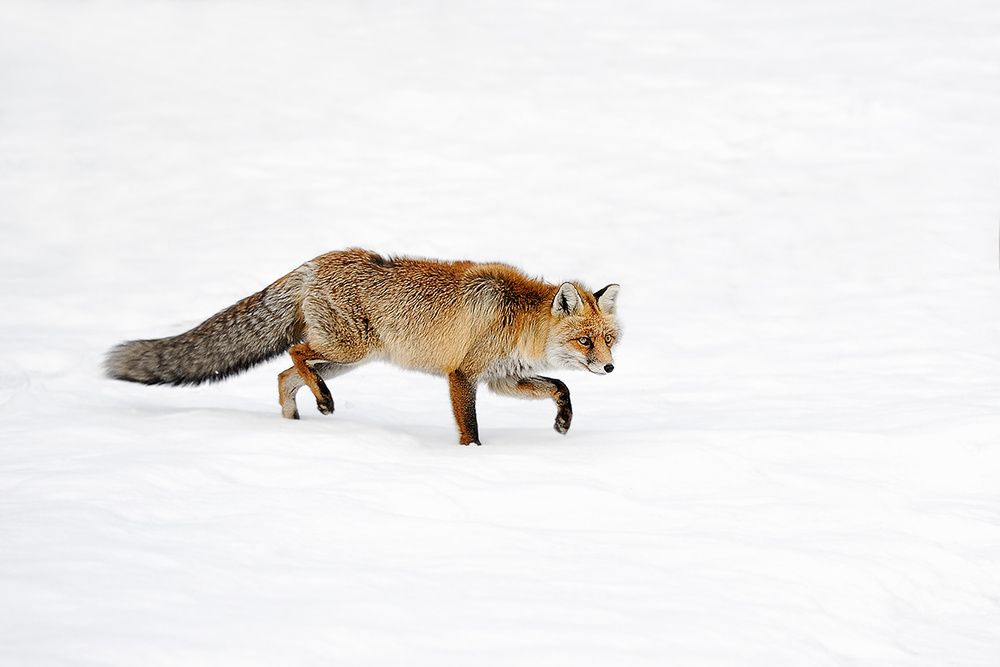 A piece of fine art art photography titled Foxy by Marco Pozzi