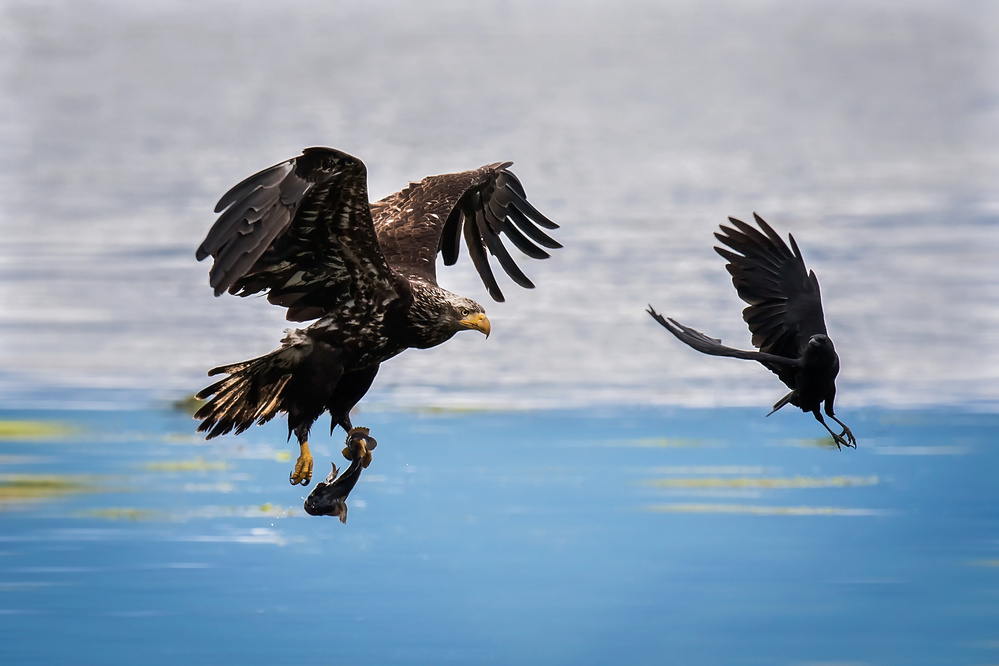 A piece of fine art art photography titled Crow Intercepting Bald Eagle by David H Yang