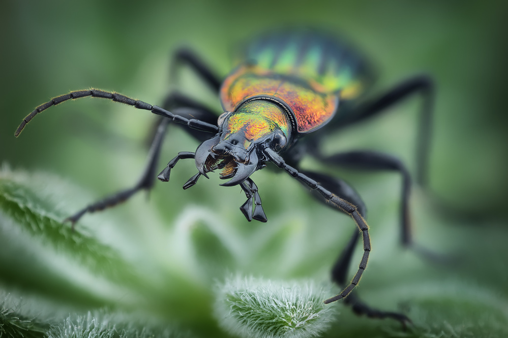 View this piece of fine art photography titled Carabus lineatus lateralis by Linda D Lester