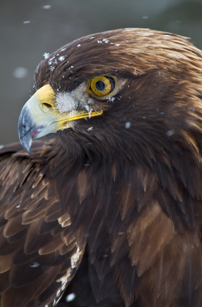 A piece of fine art art photography titled Golden Eagle In the Snow by Fabiola Forns