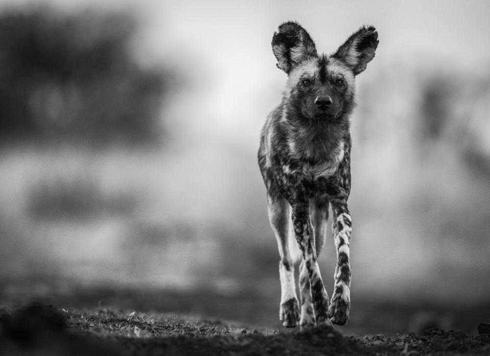 A piece of fine art art photography titled Monochrome Wild Dog by Jaco Marx