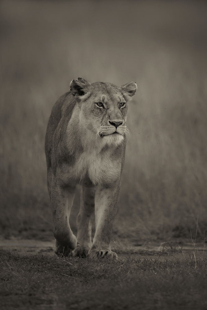 A piece of fine art art photography titled Big Cat by Lee Fisher