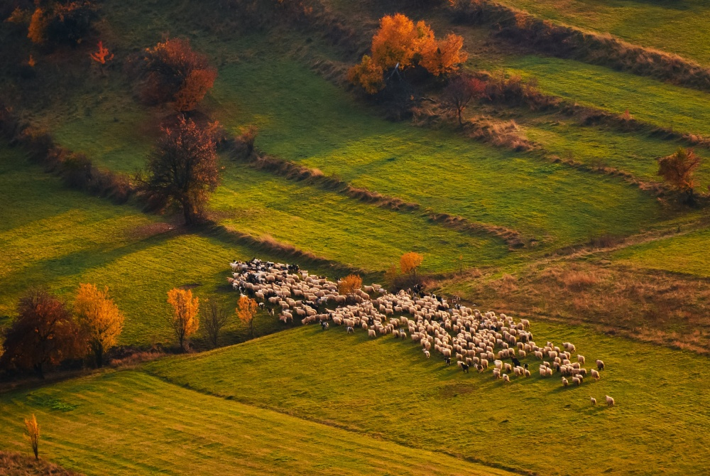 A piece of fine art art photography titled Sheep Herd at Sunset by Cristian Lee