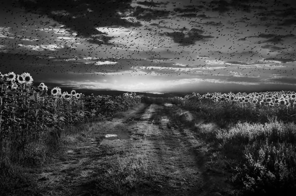 A piece of fine art art photography titled Sunflowers Avenue by Nicodemo Quaglia